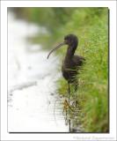 Zwarte Ibis    -    Glossy Ibis