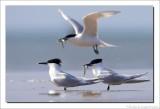 Grote Stern    -    Sandwich Tern