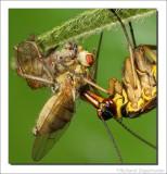 Schorpioenvlieg    -    Scorpion Fly