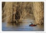 Rosse Stekelstaart    -    Ruddy Duck