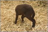The headless, three-legged lamb