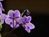 Afro Violet3.JPG