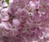 Sweet Lilacs.jpg