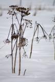 Cow Parnsip in Snow