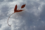 Leaf on Snow.jpg