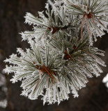 Frosted Pine.jpg