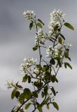 Saskatoon blossom4.jpg
