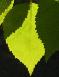 Birch Leaves.jpg