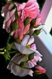 roses_in_my_garden