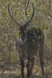 Gallery: Antelopes