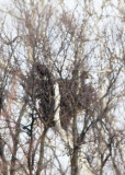 TWO BALD EAGLES ON THE NEST