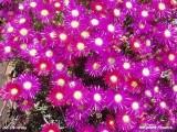 Ice plant flowers.JPG