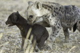 Two Sisters - Spotted Hyena