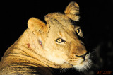Lioness at night (Suite)