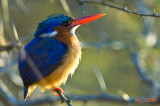 Kingfisher (South Africa) (Malachite Kingfisher)
