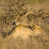 Lioness Showing his  foot
