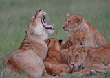 Lion Familly Masai Mara a raining day...