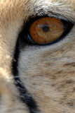 Cheetah Eye (Guepard) Wildlife