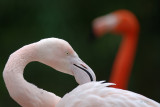 Pink and red  Flamingo.