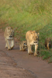 Lion familly walk 3