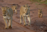 Lion familly walk