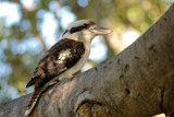 Austalian King of the bird (kookaburra) (Nickname delivered by a kid in Australia when I was taking this picture)