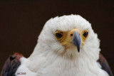 Eagle straight in the eyes.