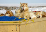 Arrival of dog team in kamotiq