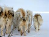 Eclypse Sound, Artic dog team in action!