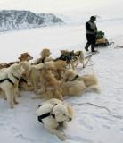Artic dog at rest