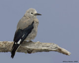 Jays and Crows