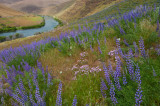 lupine and flox