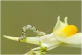 Vlasbekdwergspanner - Eupithecia linariata