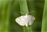 Ratelaarspanner - Perizoma albulata