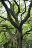 Meiji Jingu Tree (_DSC0992.jpg)