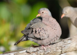 Common Ground Dove