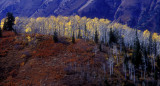 Aspens on the Move