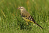 Yellow wagtail, Colombier, Switzerland, August 2008