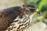 Levant sparrowhawk, Keramoti, Greece, September 2008