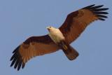 Brahminy kite (haliastur indus), Allepey, India, January 2010
