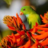 Vernal hanging parrot (loriculus vernalis), Munnar, India, January 2010