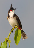 Red-whiskered bulbul (pycnonotus jocosus), Munnar, India, January 2010