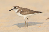 Greater sand plover (charadrius leschenaultii), Allepey. India, January 2010