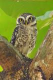 Spotted owlet (athene brama), Allepey, India, January 2010