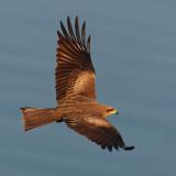 Black (pariah) kite (milvus migrans govinda), Udaipur, India, January 2010
