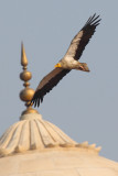 Egyptian vulture (neophron percnopterus), Agra, India, December 2009