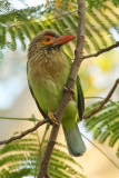 Brown-headed barbet (megalaima zeylanica), Agra, India, December 2009