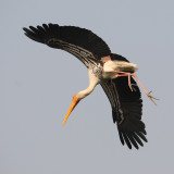 Painted stork (mycteria leucocephala), New Delhi, India, December 2009