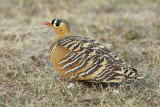 Painted sandgrouse (pterocles indicus), Ranthambore, India, December 2009