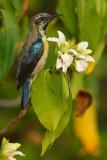Purple sunbird (cinnyris asiaticus), Ranthambore, India, December 2009